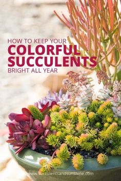 Learn how to keep your colorful succulents bright all year long.
