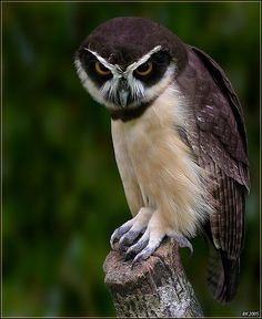 Spectacled Owl (Pulsatrix perspicillata) by Ricardo Kuehn. This large owl is a resident breeder in forests from southern Mexico and Trinidad, through. Beautiful Owl, Animals Beautiful, Nocturnal Birds, Power Animal, Owl Pictures, Owl Bird, Mundo Animal, Pretty Birds, Birds Of Prey