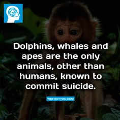 Dolphins, whales and apes are the only animals, other than humans, known to commit suicide. Fact.