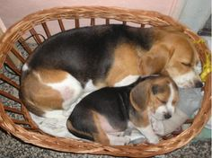 I LOVE BEAGLES!  The most comfortable bed in the world