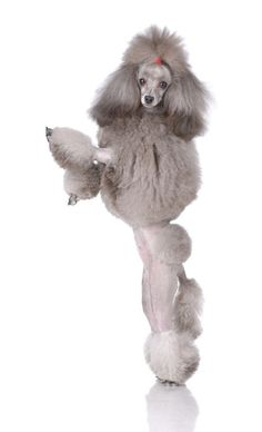 """On a scale of 1-10 how beautiful do you think I am?""  Fetch more cute pinworthy #dogs by clicking on this #Poodle pic"