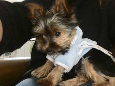 Teacup Terrier, Tea Cups, Dogs, Animals, Animales, Animaux, Doggies, Tea Cup, Animais