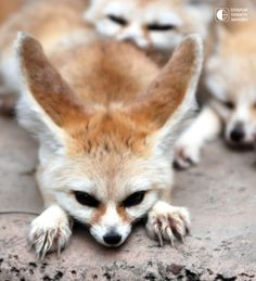 I want one of these so bad! I'd name it Finnick. Finnick the fennec fox.