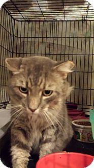 ADOPTED! Stafford, VA - Domestic Mediumhair. Meet Cinco, a cat for adoption. http://www.adoptapet.com/pet/16803356-stafford-virginia-cat