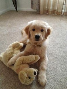 Times Golden Retrievers Were So Adorable You Wanted To Cry Golden Retriever pup and his pup!Golden Retriever pup and his pup! Toy Puppies, Cute Puppies, Dogs And Puppies, Labrador Puppies, Puppy Husky, Perros Golden Retriever, Funny Golden Retrievers, Mini Golden Retriever, Golden Retriever Names