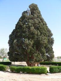 Methuselah in het Inyo National Forest in Californië zou maar liefst 4,841 jaar oud zijn. De exacte locatie van de boom is een goed bewaard geheim om schade aan de plant te vermijden. In 1964 hakte een student hier immers de zogenaamde Prometheus (5.000 jaar oud) om.