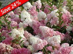 Hydrangea Vanilla Strawberry - Vanilla Strawberry Hydrangea has giant pink & white flowers. This Hydrangea thrives with KnockOut Roses & Sedums.