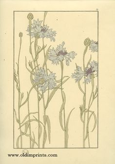 The Eschscholtzia. [California Poppy].  ART NOUVEAU)    Foord, Jeannie (illus).  1901.