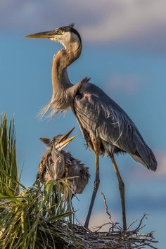 A gorgeous great blue heron with chick in the Viera Wetlands, Florida. (Note: High quality versions available.)