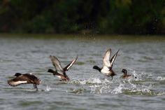 Tufted Ducks, taking off.