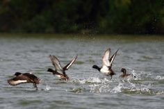 Tufted Ducks, taking off.