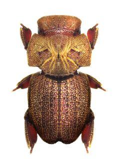 Cheleion jendeki Aphodiinae