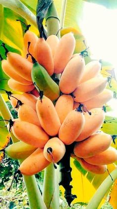 There is banana varieties that can hold cold and grows well in containers or pots, popular mainly among the fans of exotic tropical fruit plants. Banana Fruit, Banana Plants, Fruit Plants, Fruit Garden, Fruit Trees, Types Of Fruit, Fruit And Veg, Fruits And Veggies, Fresh Fruit