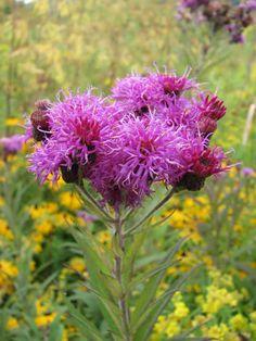 Vernonia-missurica-Missouri-Ironweed-flower