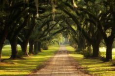 Southern live oaks with spanish moss...perfection