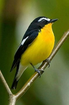 Yellow-rumped flycatcher (Ficedula zanthopygia). A flycatcher of eastern Asia. photo: Michael Gillam.