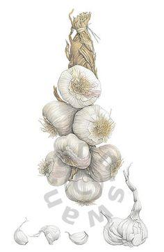 Ann Swan - String of Garlic