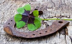 Find Horseshoe Four Leaf Clover On Wood stock images in HD and millions of other royalty-free stock photos, illustrations and vectors in the Shutterstock collection. Hello January, Top Imagem, Horseshoe Art, Four Leaf Clover, Insects, Photo Editing, How Are You Feeling, Stock Photos, Animals