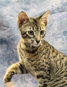 We are a TICA and CCA-registered cattery with an Animal Care Certification. We breed Savannah Cats for health, temperament, and beautiful wild looks! Based out of Toronto & Aurora, Ontario