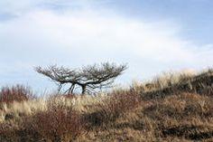 dead-pine-tree-23583055.jpg (240×160)
