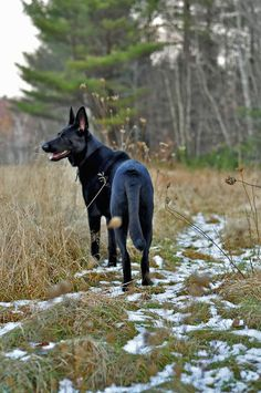 Black German shepherd in a field with melted snow. #gsd