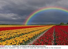 Netherlands, Keukenhof, view to rainbow at cloudy sky with tulip fields in the foreground Sunflower Photography, Rainbow Photography, Most Beautiful Gardens, Beautiful Flowers Garden, Beautiful Scenery, Tulip Fields, How He Loves Us, Photos Voyages, Over The Rainbow