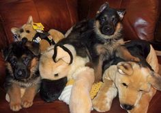 The cutest German Shepherd puppies ever!  <3 Highlander German Shepherds ... this is Logan and Liza von Highlander :-)