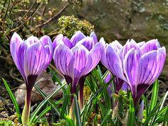Krokusse bringen den Frühling in den Garten - Pflanzzeit für die Blumenzwiebeln sind die Herbstmonate.