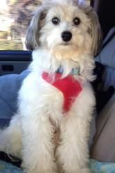 Cloudy is an adoptable Chinese Crested Dog Dog in Pembroke Pines, FL. Cloudyis a Chinese Crescent Powder Puff beautiful inside and out gentle dog. He is bright and very sweet. He was found as a str...