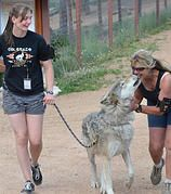 Colorado Wolf and Wildlife Center- Tours and Feeding time Tours and you get to meet a wolf!