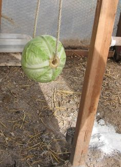 Hanging cabbage