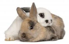 When introducing rabbits to each other, both rabbits must be neutered (male) or spayed (female)