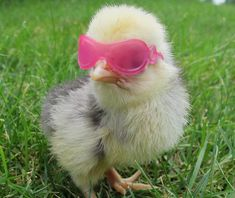 Lovin this Chick! Beat the Heat: Helping Chickens Survive High Temps from The Chicken Chick® Cute Chickens, Baby Chickens, Chickens Backyard, Keeping Chickens, Cute Little Animals, Cute Funny Animals, Funny Animal Pictures, Farm Animals, Animals And Pets