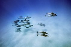 Spinner dolphins in the waters off Oahu, Hawaii  'These dolphins forage at night in the deep water offshore, then come into shallow bays in the early morning to socialise and rest'. Photograph: Brian Skerry.
