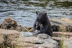A BEAR'S LUNCH- D: Available as a fine art print, canvas and greeting card.   Black Bear at Neets Bay, Alaska