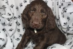Labradoodle Puppies For Sale in Pa  These puppies are family raised with children and are vet checked with their shots and worming done. Call 717-336-7381 to set up a time to see them   http://www.cutepuppiesforsaleinpa.com/
