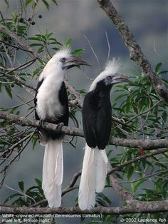 White-crowned Hornbill (Aceros comatus) couple. This species is found in the Thai-Malay Peninsula, Sumatra and Borneo. Photo: Laurence Poh
