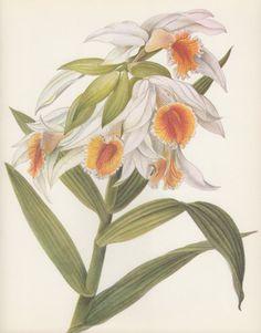 Thunia marshalliana Orchid 1970 Vintage Botanical by Craftissimo