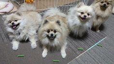 お散歩あとの歯磨きガム  うーん  どれくらいまてるのか  やってみたいが  こわいのでやめておこう  #dog#family #dogsofcanada#dogsofla#いぬ#犬バカ部#いぬ部#仔犬#わんこ#いぬすたぐらむ#bestdog#ふわもこ部#かわいい#pomeraniansofinstagram#pom#pomegranate#pomeranians##animals#犬#ポメラニアン#犬部#ポメ#dogs#こいぬ#mydog#littledog#cutedog#dogslife#おやつ