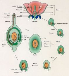 = = 33 Sexual reproduction: when individuals receive individual traits inherited from two parents Biology Lessons, Science Biology, Science Facts, Teaching Science, Science Education, Life Science, Botanical Science, Medical Anatomy, Plant Science