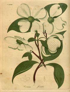 Dogwood (Cornus Florida).Illustration from 'American Medical...