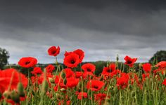 poppy images free remembrance | Posted by Yashika Totlani Khanna on4:50 AM