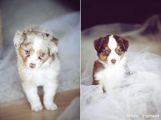 Toy Australian Shepherd Puppy