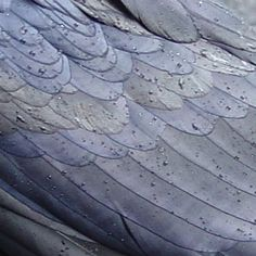 """""""This raven's wing colors appear to more resemble petroleum on water than the flat black observed from a distance."""""""