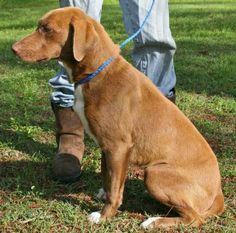 Lacey is a 1 year old female hound/lab mix, about 40 pounds. She may be spayed, she has what appears to be a surgical scar on her abdomen. Lacey is scared in the shelter but was very sweet and easy to handle, she walked well on the leash and...