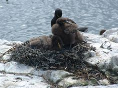 Shag, on nest with young.