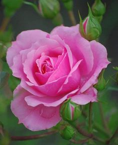 ⚜️The Best Rose of the All Flowers, Beautiful Flowers, Beautiful Pictures, Beautiful Sky, Purple Roses, Garden Styles, Mother Nature, Peonies, Garden Design