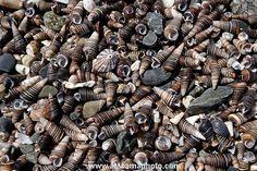 Snail Shells Photos of Atacama Desert Coast
