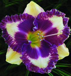 Daylily 'Edge Of Hypnosis'