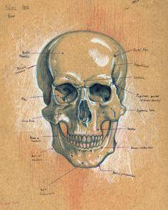 Anatomy of Skull (front)